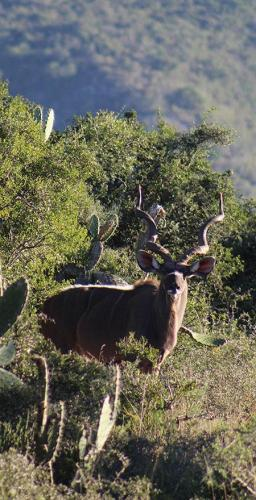 Kudu in Albany thicket